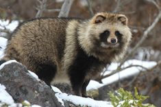 Raccoon Dog(Nyctereutes procyonides albus)エゾタヌキ  subspecies of Japanese Raccoon Dog, inhabit only in a part of Hokkaido