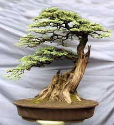 Bonsai...a survivor!! Love the deadwood trunk! Dainty leaves & excellent pruning has given the tree realistic movement