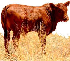Hartebeestloop Gallery - Bonsmara Calves
