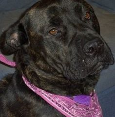 Angie Wow Wow - CO is an adoptable Cane Corso Mastiff Dog in Monroe, NJ. Angie is currently being fostered in CO. WHAT A TRANSFORMATION! From Philly to Jersey to Colorado.... from emaciated to healthy...