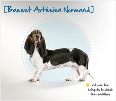 Originating in the Artois and Normandy regions of France in the 1600s, the Basset Artésian Normand is one of six recognized French Basset breeds. Bred to hunt, the Artésian is a brave, determined and headstrong dog. However, her friendly, good-natured temperament also makes her a good family companion. #dog-breed