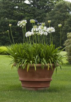 terracotta pot this time planted white Agapanthus. a pinner recommended using Agapanthus africanus 'Albus' as it holds on to its leaves all-year-round.
