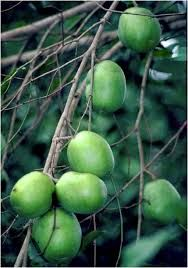 Image result for ogbono fruit
