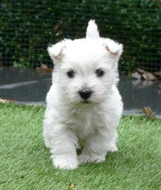 Welkom bij Dazzling Dominiques ~ West Highland White & Schotse Terriërs https://pagez.com/3532/33-facts-about-dogs