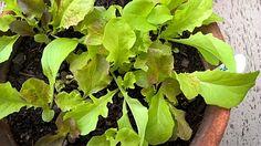 Schnittsalat in der Schale auf der Terrasse