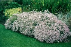 "Gypsophila paniculata ""Compacta Plena"" - Baby's-breath. Perennial, full sun to part shade pink or white flowers. Grows up to 3 feet tall."