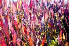 Dodonaea Viscosa 'Purpurea' (Purple-leafed Hop-bush) or Akeake Royalty Free Stock Photo