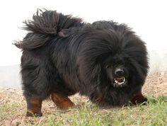 Tibetan Mastiff - Album on Imgur