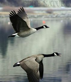 Canadian Geese. Remind me of home. My parents had a goose/duck haven on the water in Maryland.