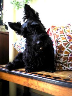 Head tilt...it's one of the things that only a Scottie can do so well.