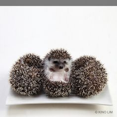 Hedgehogs by kino lim, via Flickr