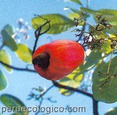 Nipero, Fruta de Cuba