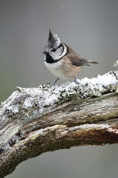 EUROPEAN CRESTED TIT - Lophophanes cristatus (syn Parus cristatus) . . . C & N Europe, France, Iberian peninsula, Inverness & Strathspey in Scotland ...