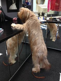 Chou Chou Briard visits the cleaners and gets a treat! Dog Training Tools, Training Your Dog, Pet Dogs, Dog Cat, Positive Dog Training, Tu Me Manques, Puppy Names, Homemade Dog Treats, Therapy Dogs