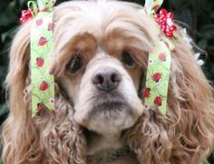 Lovely Lilly is an adoptable Cocker Spaniel Dog in The Woodlands, TX. On February 1 a little stray girl was hit by a car. A Good Samaritan took her to a vet for X-rays which showed the right front leg had mu...