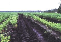 Landscape soil: Muck - Combination or soil and water, having a higher mineral content than peat. It is decomposed to the point where the original plant parts cannot be identified.