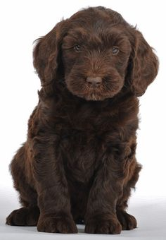 Golden Mountain Doodle - I see...... CHOCOLATE