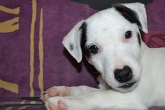 London, chiot Jack Russell Terrier