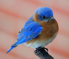 cute little fluffy bluebird