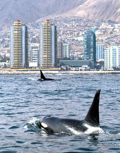 Orcas off the coast of Antofagasta, Chile Rettet Die Wale, Save The Whales, Delphine, Ushuaia, Ocean Creatures, Tier Fotos, Mundo Animal, Killer Whales, Whale Watching