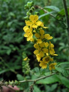 Common Agrimony is a wayside perennial with grey green leaves and small pale yellow star-shaped flowers in the summer.