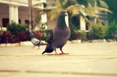 domestic_ pigeon_free_photo