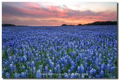 Texas Bluebonets