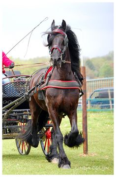 In The Moment by ~KonikPolski on deviantART - Thor, the Frisian. Photo taken during a driving competition.