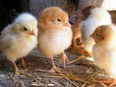Цыплят обычно высиживают курицы, но в некоторых случаях это невозможно. В таких случаях цыплят надо обогревать, иначе они могут умереть. http://kurinyjdom.ru/razmnozhenie-kurits/prisposobleniya-dlya-obogreva-tsyplyat.html