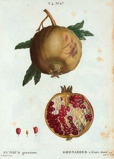 Grenadier a fruits doux.POMEGRANATE) Redoute, P. Gabriel (engraved by).Published by: Paris. Vintage Botanical Prints, Botanical Drawings, Vintage Prints, Botanical Flowers, Botanical Art, Sibylla Merian, Engraving Printing, Plant Illustration, All Nature
