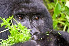A mountain gorilla feeding in Volcanoes National Park, Rwanda Volcano National Park, National Parks, Gorillas In The Wild, Dian Fossey, Mountain Gorilla, Orangutans, Volcanoes, Primates