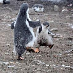 Tanzende Pinguine #sma #socialmedia #pinguine #tanzen