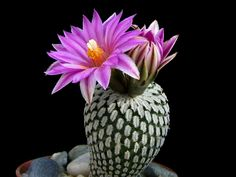 Turbinicarpus pseudopectinatus is a dwarf, globular cactus... #turbinicarpus #succulentopedia #cactus #cacti #CactusLove #cactusmania #succulents #CactiAndSucculents #WorldOfSucculents #SucculentLove #SucculentPlant #SucculentPlants #succulentmania #SucculentLover #SucculentObsession #SucculentCollection #plant #plants #SucculentGarden #garden #desertplants #nature #blooming #BloomingCactus #flower #flowers #CactusFlower #CactusFlowers