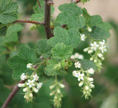 White Chaparral Currant, Ribes indecorum is native from southern Monterey Co., to San Diego, it used to be a common shrub throughout the Los Angels basin and the Santa Monica Mountains.