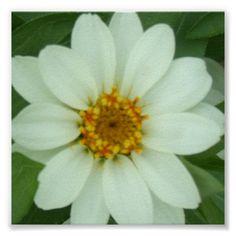 Zinnia Flower Posters
