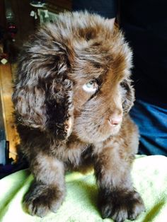 Winnie Newfoundland puppy