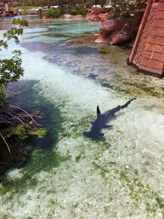 Hammer head shark @ Shark Hunters (notice how SHALLOW the water is? Orcas, Megalodon, Shark Bait, Shark Shark, Types Of Sharks, Nature Sauvage, Hammerhead Shark, Great White Shark, Ocean Creatures