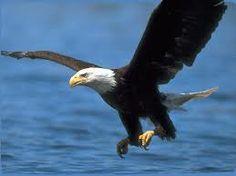 aÁguila imperial -Aquila adalberti El águila imperial ibérica es una especie de ave accipitriforme de la familia Accipitridae. Es una de las aves endémica de la Península Ibérica.