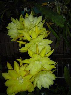 Yesterdays Memories Plant Yellow Flower Orchid Cactus Epiphyllum   eBay
