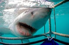 Image: A great white shark at a shark cage, Dyer Island, South Africa. (© picture alliance/Arco Images G/Newscom)