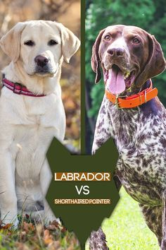 Are you possibly considering a Labrador or a German Shorthaired Pointer for your next dog? If so, this the blogpost for you as we will compare these two breeds side by side so you can pick the breed that best fits into your tastes and lifestyle. Best Dog Breeds, Best Dogs, Dog Breed Info, The Perfect Dog, Getting A Puppy, German Shorthaired Pointer, Hunting Dogs, Family Dogs, Dog Training Tips