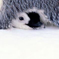 Penguin Egg, Emperor Penguin, Cute Penguins, Eggs, Earth, Animals, Animales, Animaux, Egg