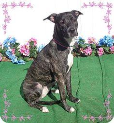 Pictures of COCO a Greyhound/Labrador Retriever Mix for adoption in Marietta, GA who needs a loving home.