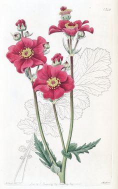 Geum quellyon var. grandiflorum - circa 1830