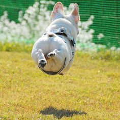 Elegance of movement! Skilled! @alfredchama www.frenchbulldogbreed.net