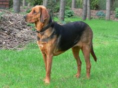 Ogar polski /  Polish Hound  #ogar_polski #Polish_hound #Dog_breeds #Polish_dogs #Polish_dog_breeds Hound Dog, Animals And Pets, Poland, Pet Dogs, Dog Breeds, Hunting, Puppies, Pets, Cubs