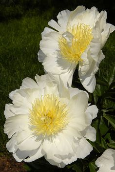 Paeonia lactiflora 'Cheddar Gold'  peony flower blooms, white & yellow