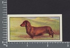 Dachshund Dog from series Dogs by Barbers Teas tea card #12