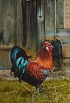 The rooster is strutting and wants to make sure everyone is up..