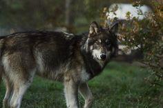 Northwestern wolf 2 by BlackIce-Wolf.deviantart.com on @deviantART